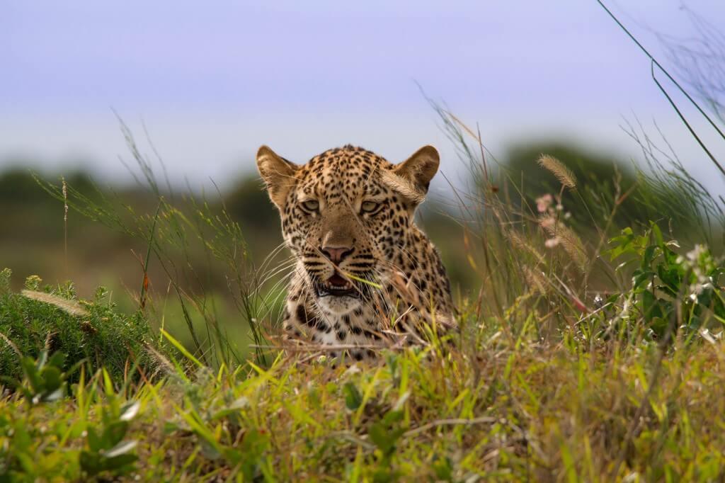 Hluluwe Wildlife - leopard
