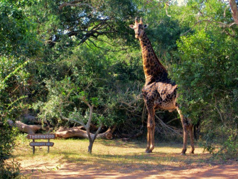 Hluhluwe wildlife giraffe