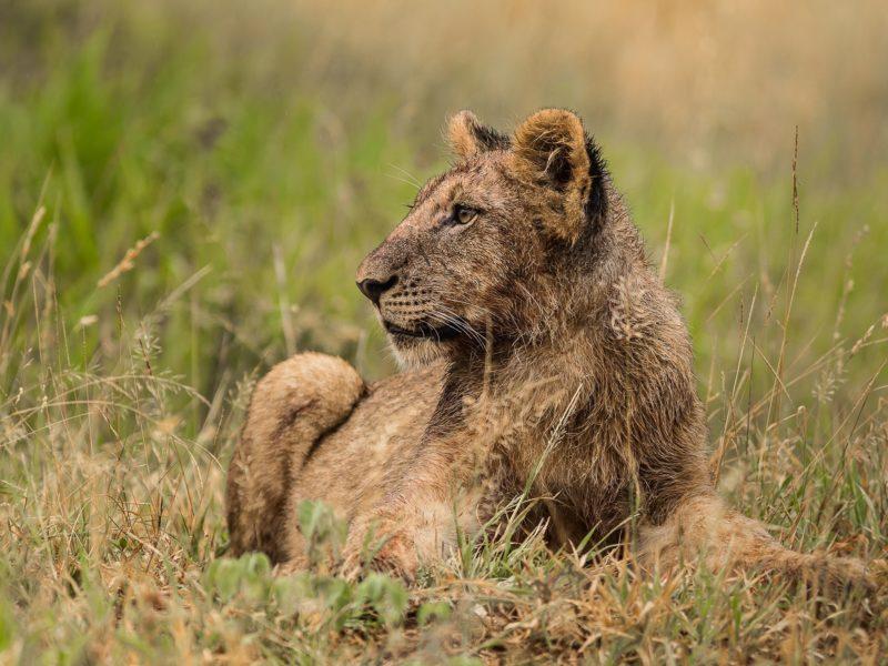 Hluhluwe wildlife lion